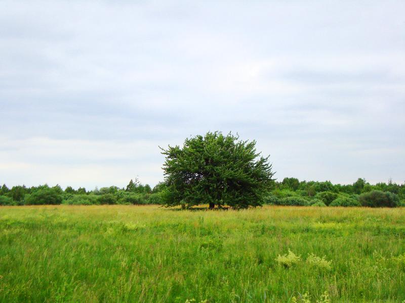 одиноке деревце